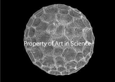 Phlox stolonifera Pollen Grain