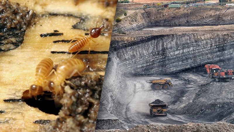 Could Termites Power a 'Clean Coal' Revolution?