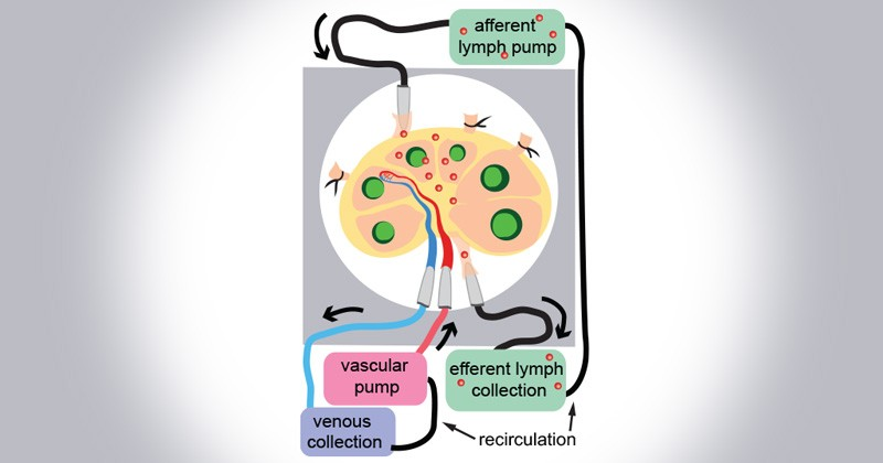 """The researchers will insert via the """"afferent"""" lymph pump specific cells, such as the fluorescently labeled immune cells shown here in red, through tiny glass tubes and watch — in real time — where they go inside the lymph node. The """"efferent"""" lymph pump helps pull the cells from the lymph node for examination."""